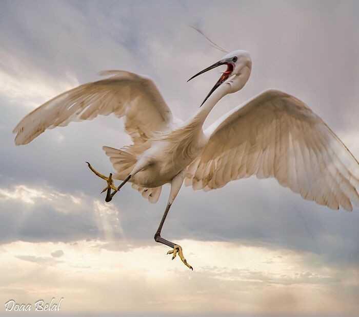 Niezgrabny egret z Egiptu