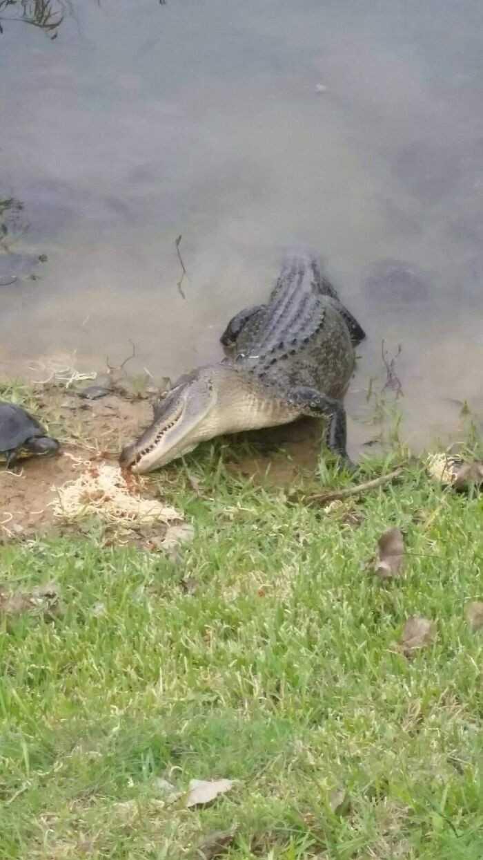 Aligator i żółw jedzący spaghetti niczym Lady i Tramp z Zakochanego Kundla