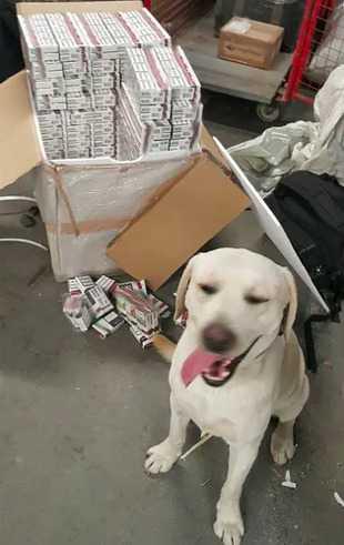 Labradorowi Ares udało się wykryć ogromną przesyłkę szajki przemytniczej