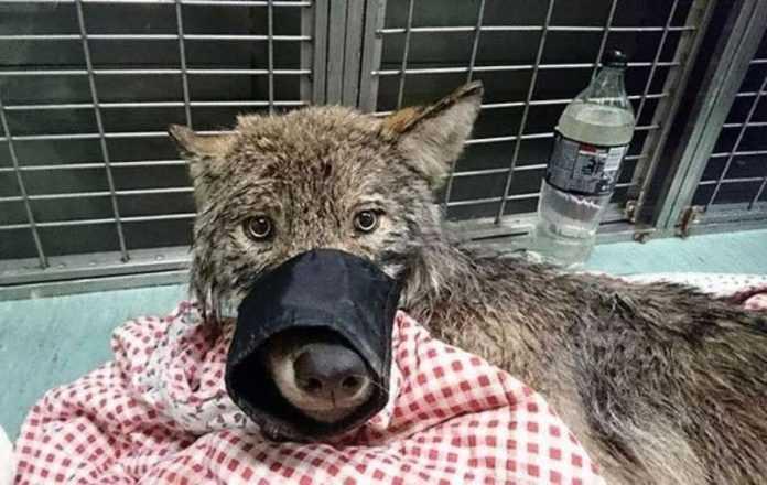 """Trabalhadores da Estônia resgataram um """"cachorro"""" de um rio congelado, sem saber que era um lobo"""