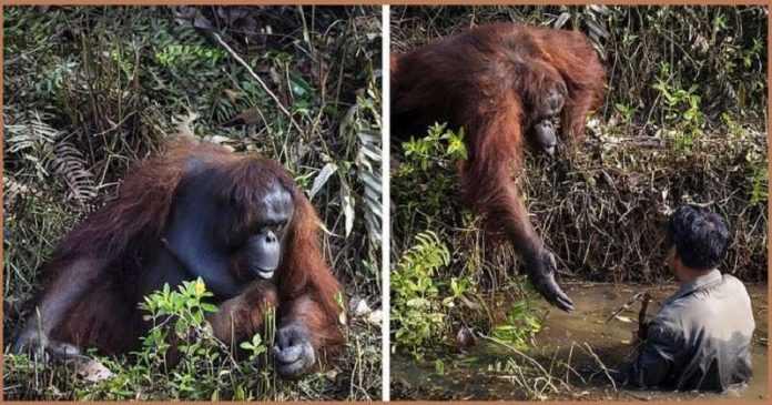 O orangotango se aproximou de um homem que estava na água e ofereceu-lhe uma mão amiga – mas o homem teve que recusar