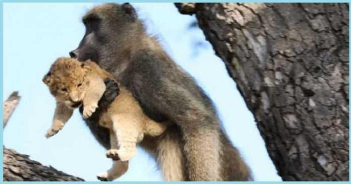 O guia do safári avistou um babuíno segurando um filhote de leão. E esses caras repetiram a cena icônica de O Rei Leão!