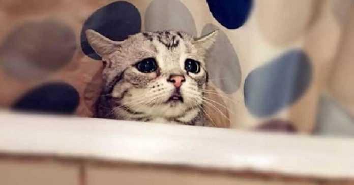 Luhu é o gato mais triste do mundo